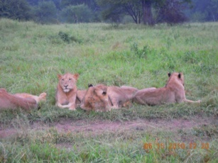 African Safari - group of lions